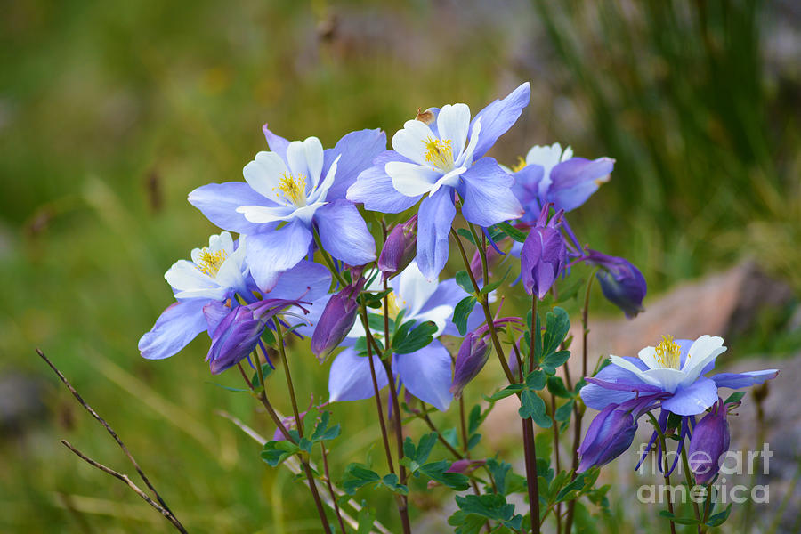 Colorado Columbines by Kate Avery
