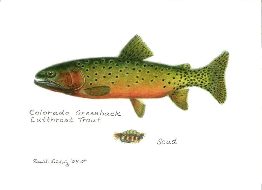 Colorado Greenback Cutthroat Trout Drawing