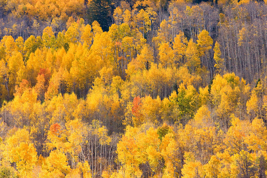 Trees Photograph - Colorado High Country Autumn Colors by James BO Insogna