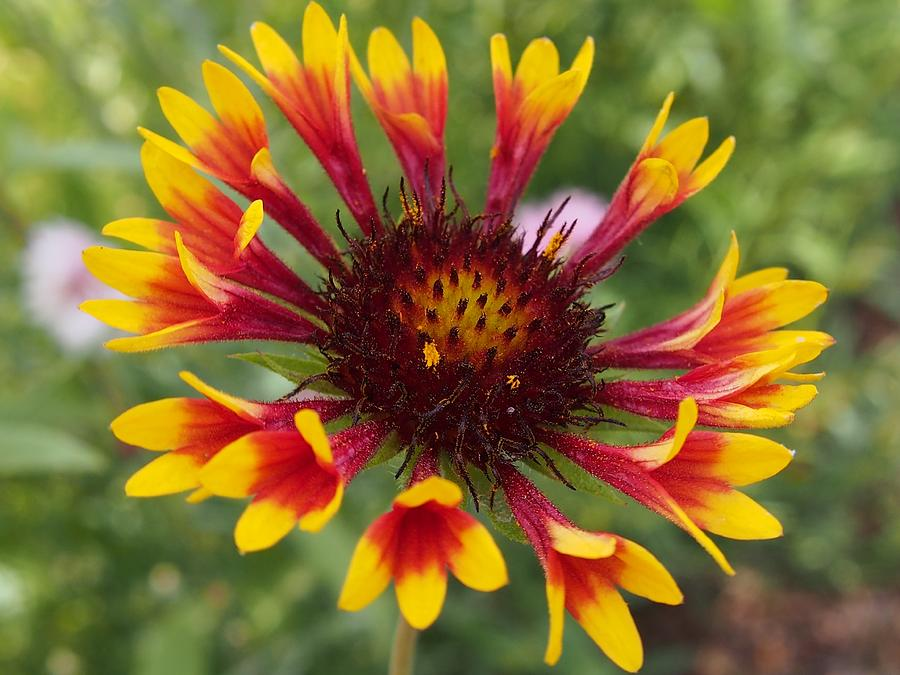 Wildflower Photograph - Colorado Wildflower by Kayla Hall