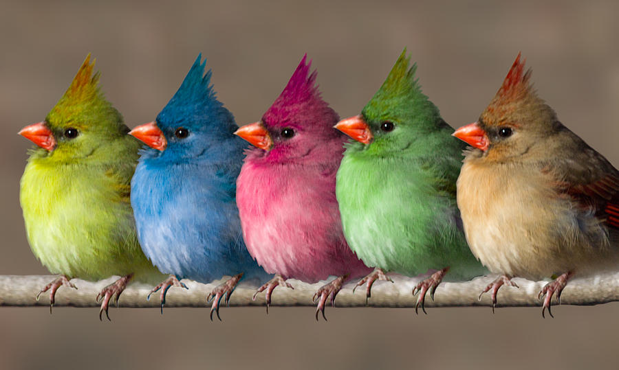 Birds Photograph - Colored Chicks by John Haldane