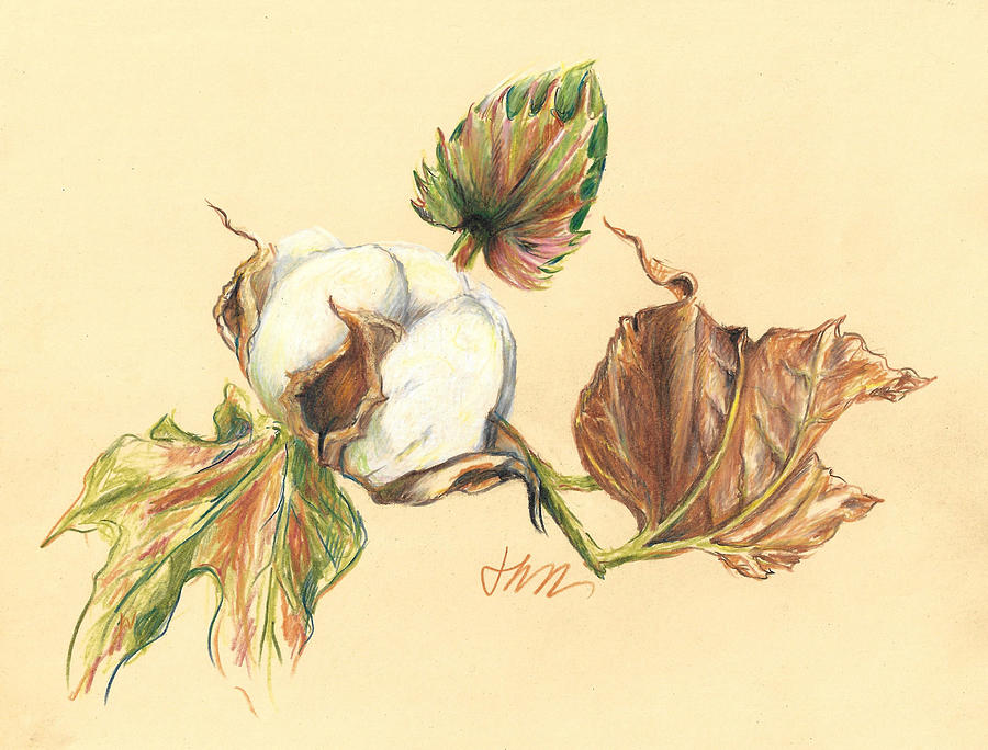 Graphite Pencil Drawing Drawing - Colored Pencil Cotton Plant by Jacki Kellum