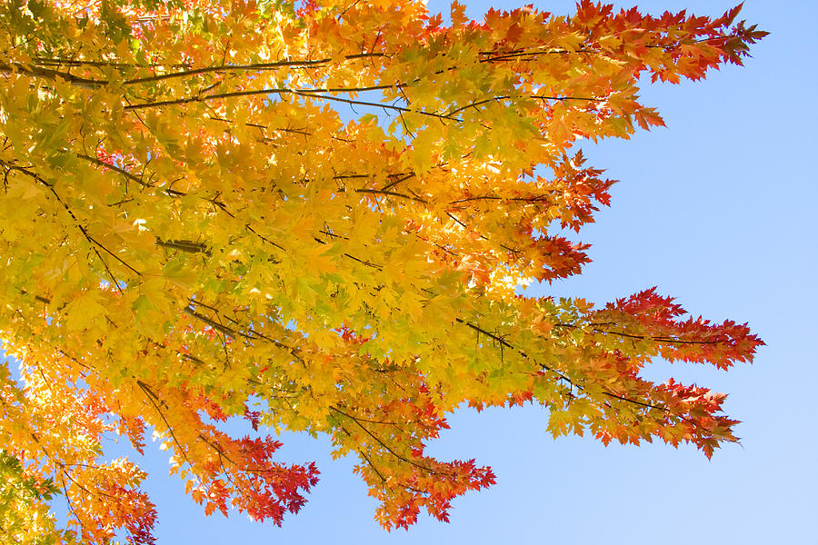 Branches Photograph - Colorful Autumn Reaching Out by James BO  Insogna