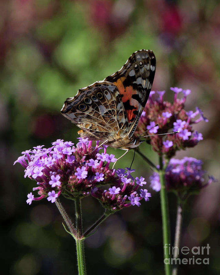 Colorful Butterfly Photograph