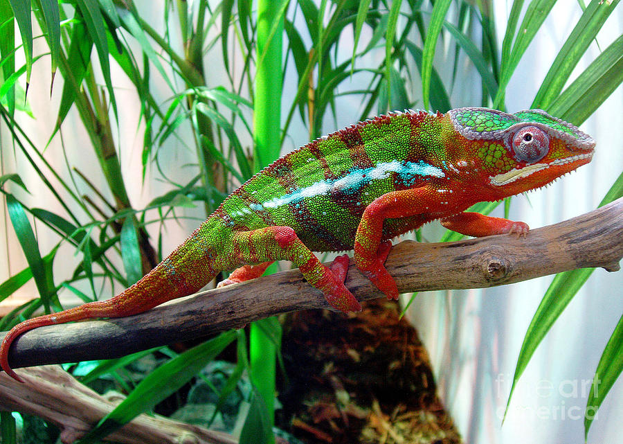 Chameleon Photograph - Colorful Chameleon by Nancy Mueller