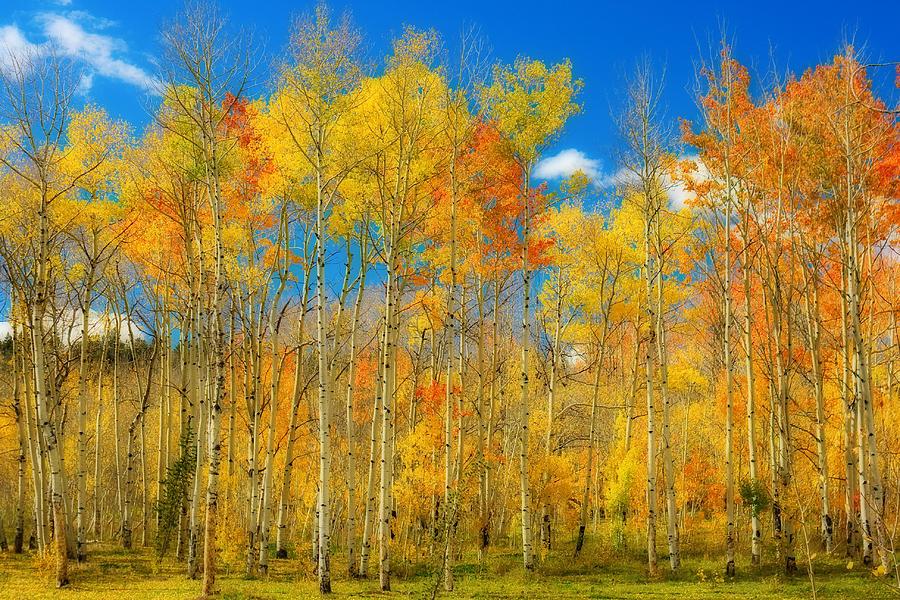 Aspens Photograph - Colorful Colorado Fall Foliage by James BO Insogna