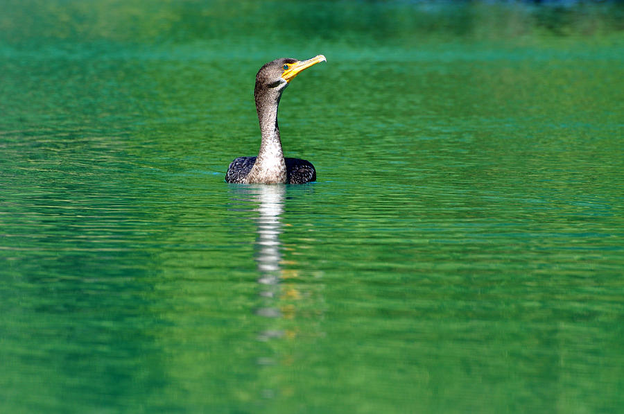 Blanton Photograph - Colorful Cormorant by Teresa Blanton