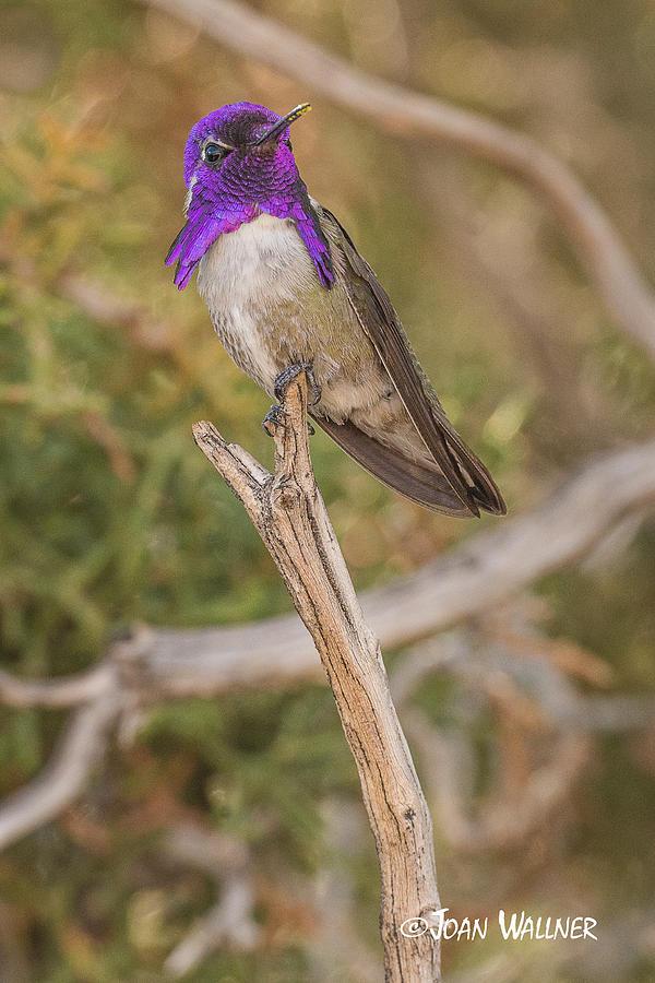 California Photograph - Colorful Costas Hummingbird by Joan Wallner