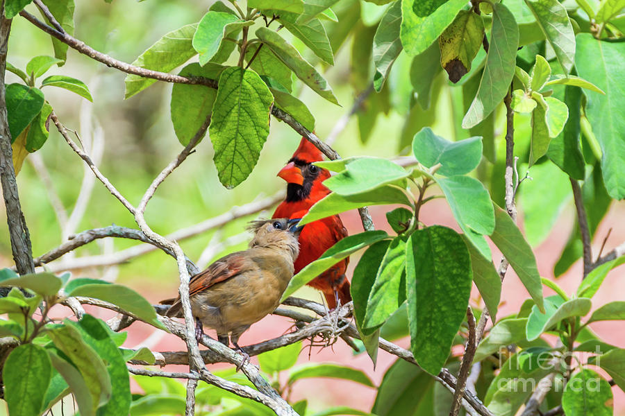 Cardinal Photograph - Colorful Couple by Samuel Jokich