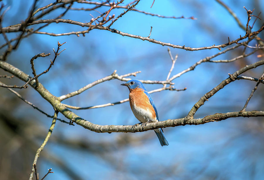 Colorful Eastern Bluebird perched on a tree branch in Springtime by Patrick Wolf