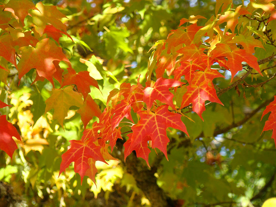 Autumn Photograph - Colorful Fall Leaves Red Nature Landscape Baslee Troutman by Baslee Troutman