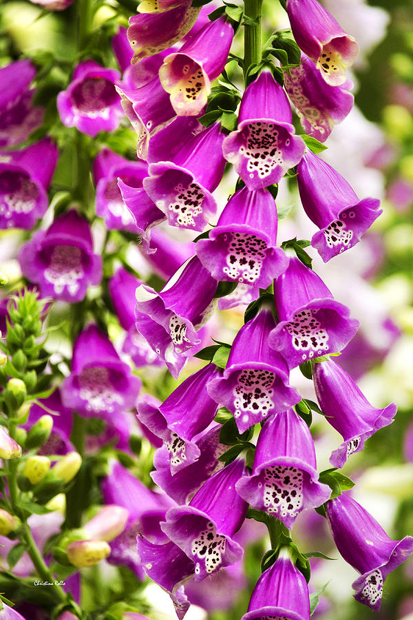 Foxglove Photograph - Colorful Foxglove Flowers by Christina Rollo