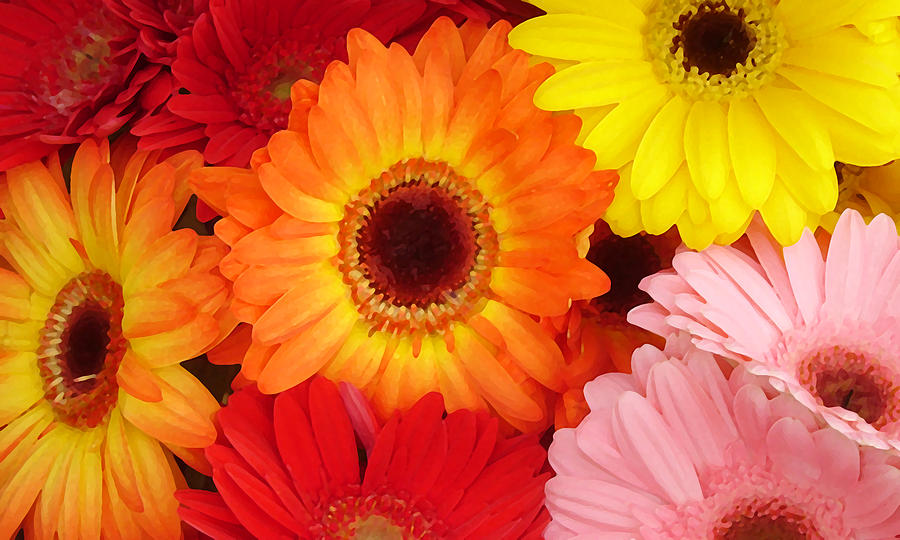 Gerber Daisy Painting - Colorful Gerber Daisies by Amy Vangsgard