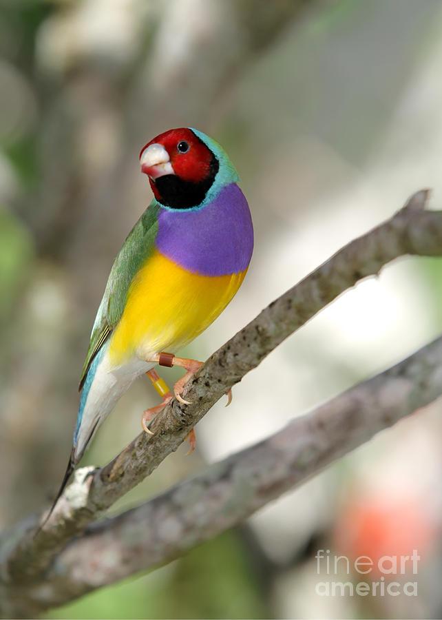 Landscape Photograph - Colorful Gouldian Finch by Sabrina L Ryan