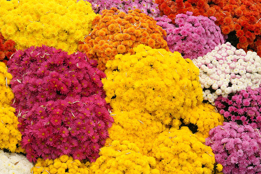 Flowers Photograph - Colorful Mum Flowers Fine Art Abstract Photo by James BO  Insogna