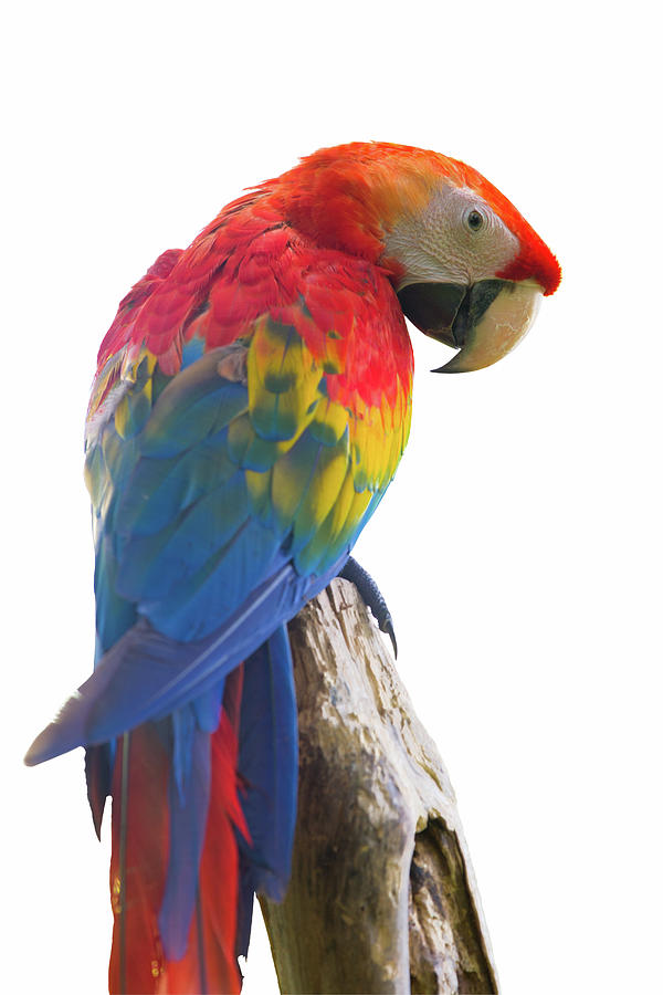 Parrot Photograph - Colorful Parrot Isolated In White Background by Anek Suwannaphoom