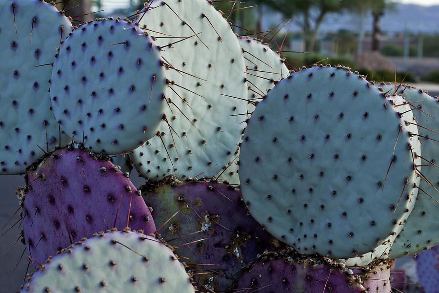 Prickly Pear Photograph - Colorful Parts by Kelley King
