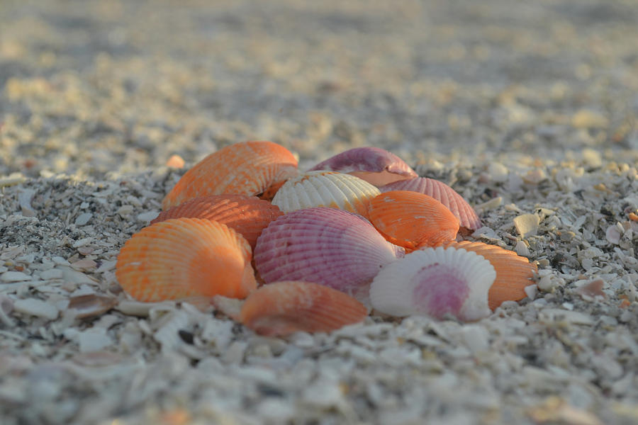 Colorful Scallop Shells by Melanie Moraga