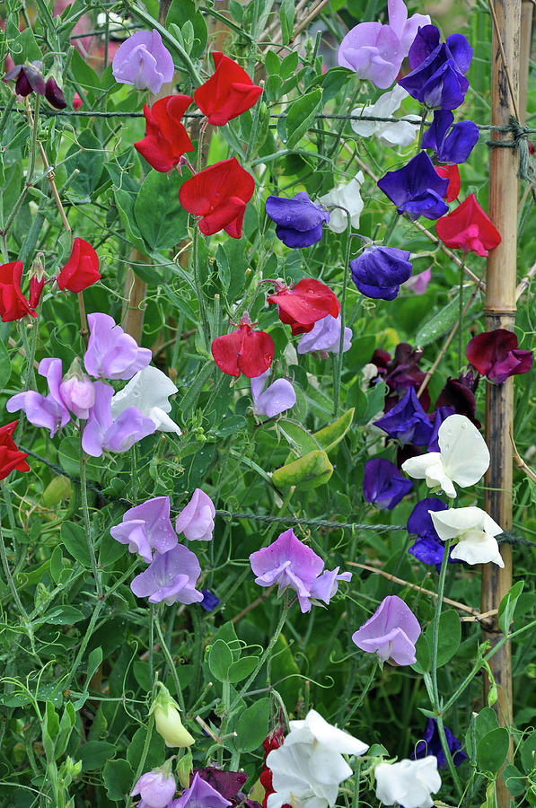 Colorful Sweet Pea Flowers Photograph By Perl Photography