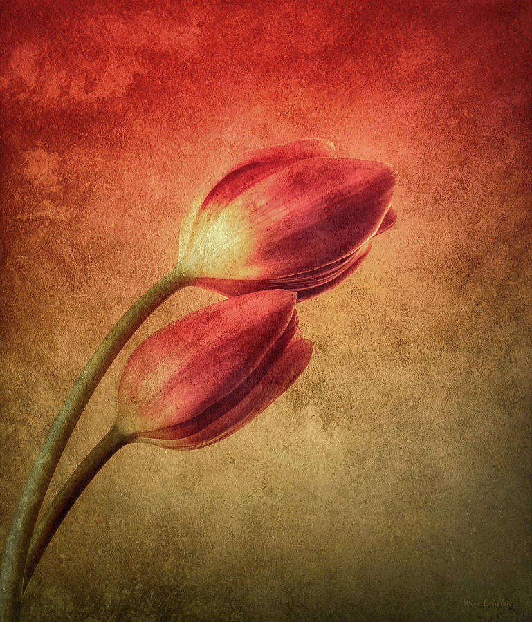 Tulips Photograph - Colorful Tulips Textured by Wim Lanclus