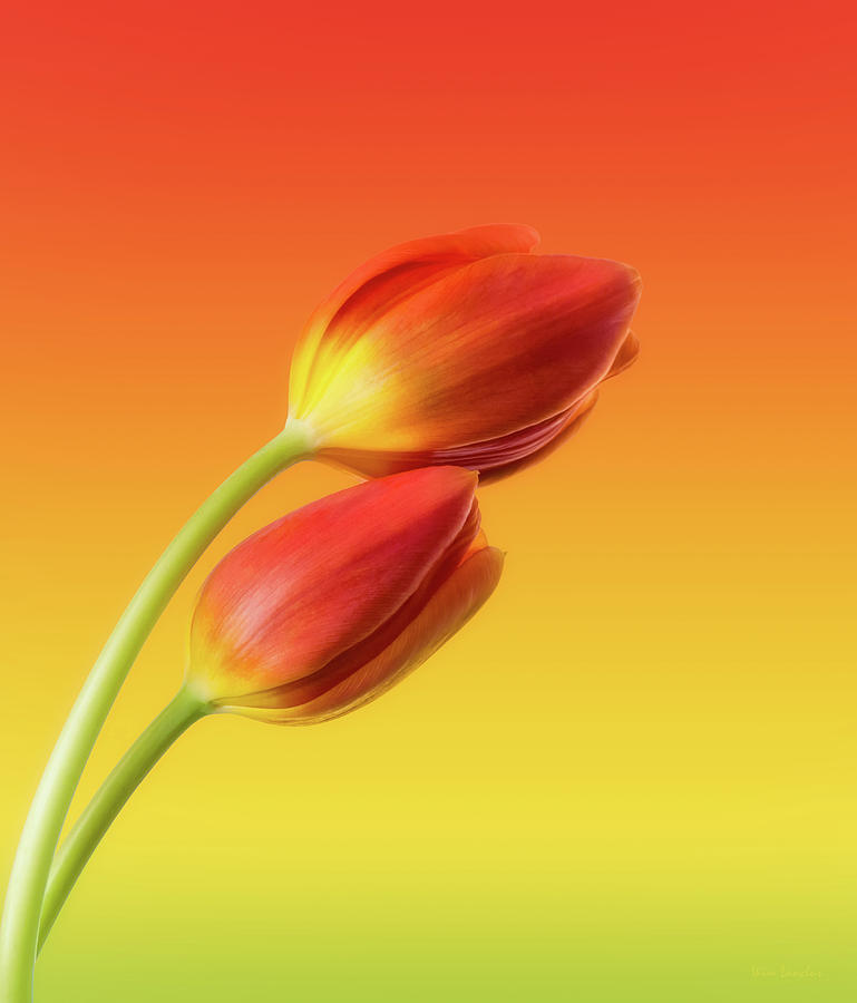 Tulips Photograph - Colorful Tulips by Wim Lanclus