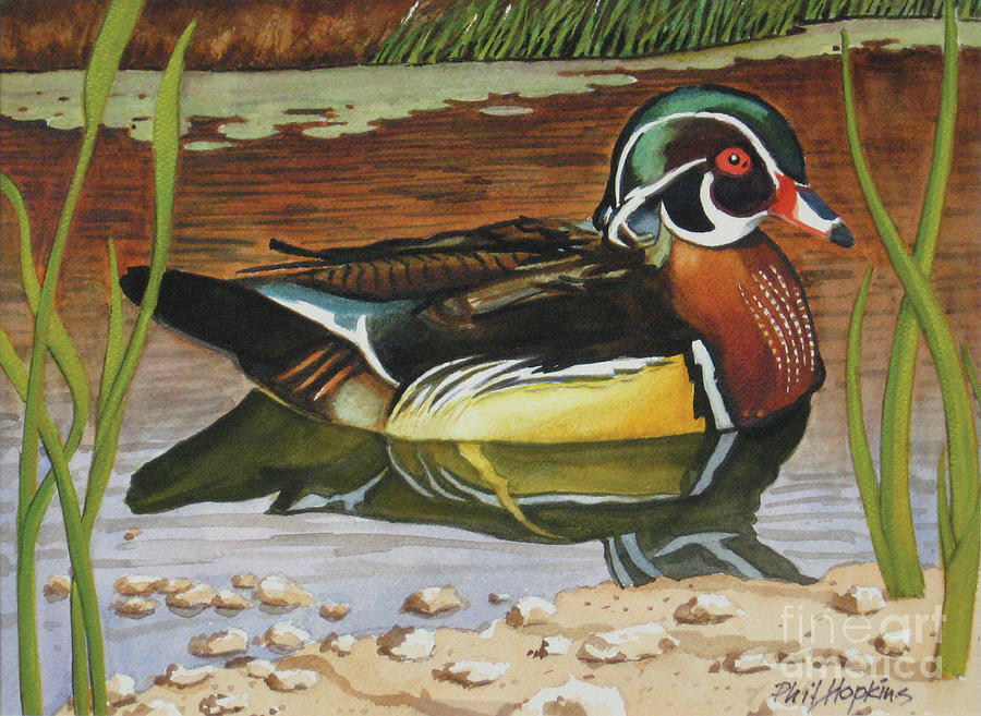 Colorful Painting - Colorful Wood Duck by Phil Hopkins