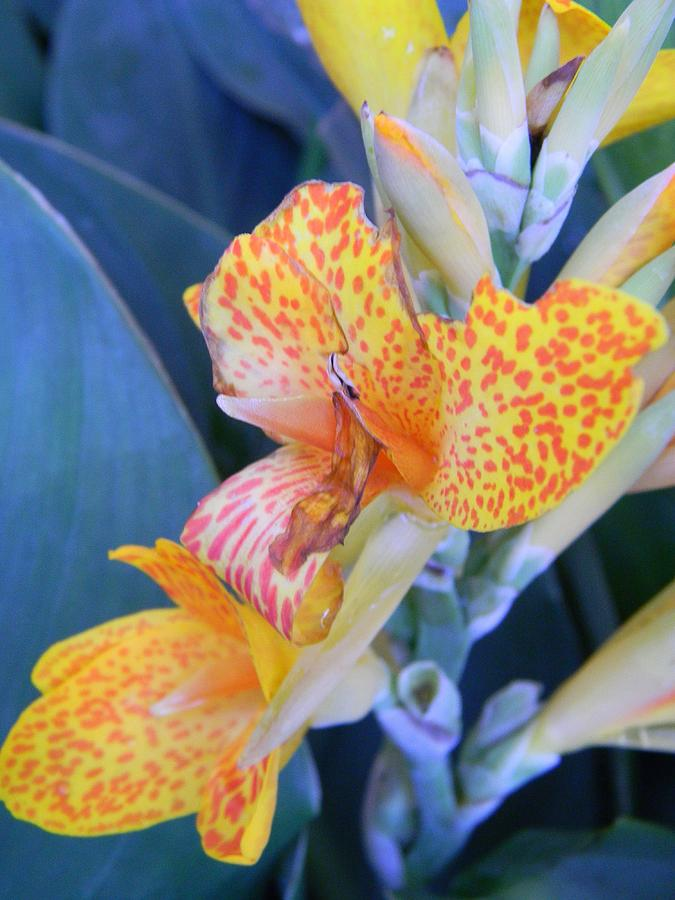 Colors Of The Canna Lily Photograph - Colors Of The Canna Lily by Warren Thompson