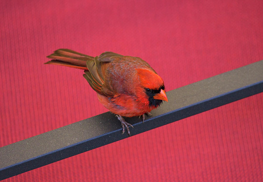 Bird Photograph - Colour Me Red - Northern Cardinal - Cardinalis Cardinalis by Spencer Bush