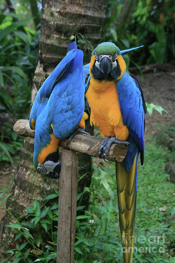 Aloha Photograph - Colourful Macaw Pohakumoa Maui Hawaii by Sharon Mau
