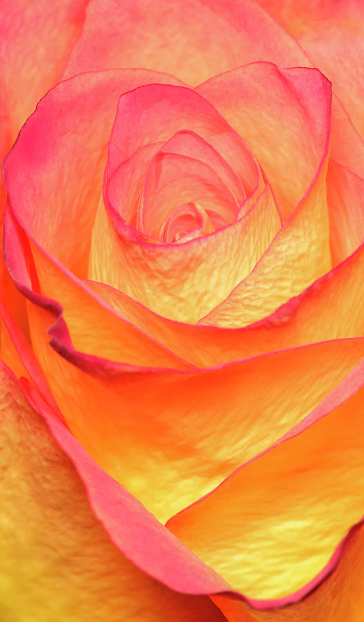 Rose Photograph - Colourful Rosie by Roy McPeak