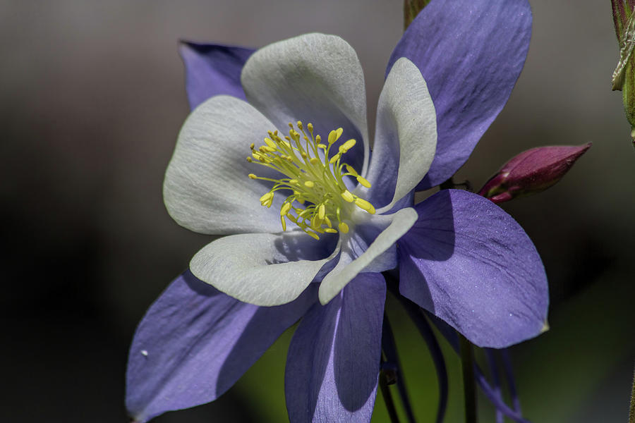 Columbine Blues Photograph by Alana Thrower
