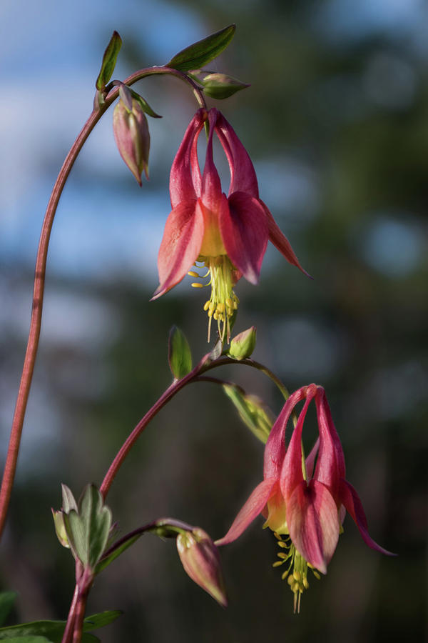 Columbine Photograph - Columbine Sentinals by Tim Beebe