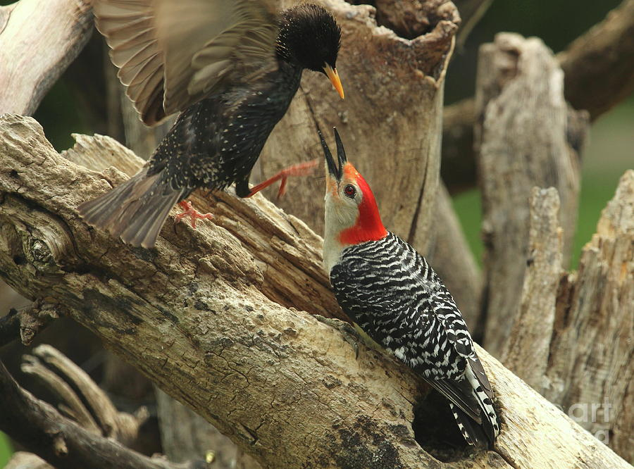 Red-bellied Woodpecker Photograph - Red-bellied Woodpecker Vs Starling by Gail Huddle