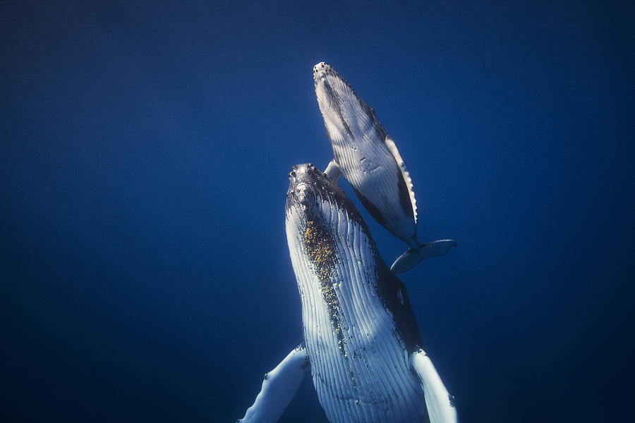 Humpback Photograph - Come Back To The Surface by Barathieu Gabriel