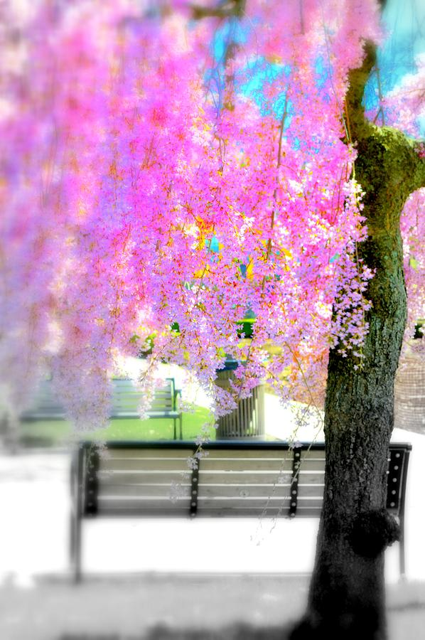 Cherry Blossom Tree Photograph - Come Sit By The Cherry Blossoms by Marla McPherson