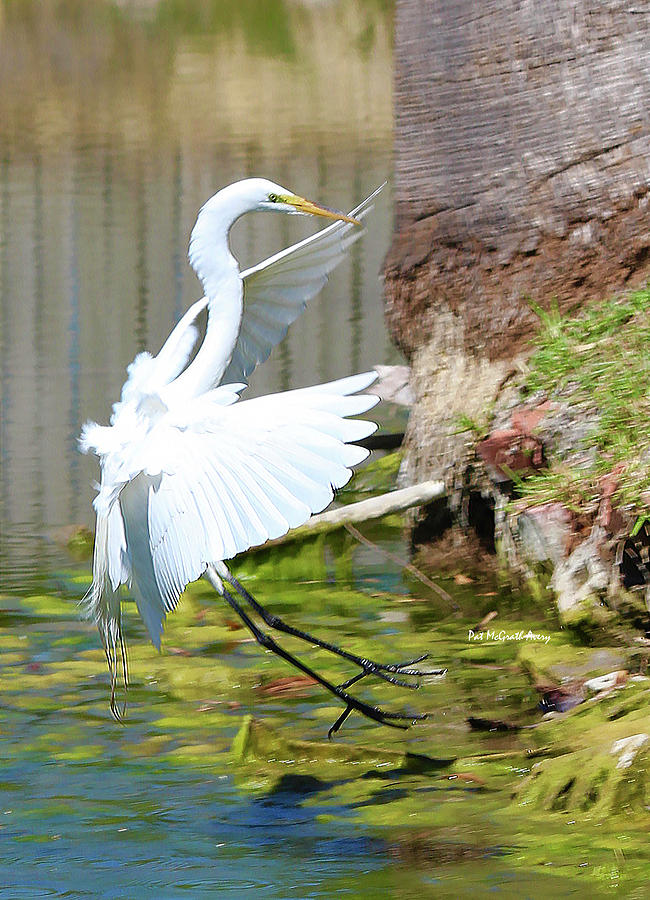 Egret Photograph - Coming In For A Landing by Pat McGrath Avery