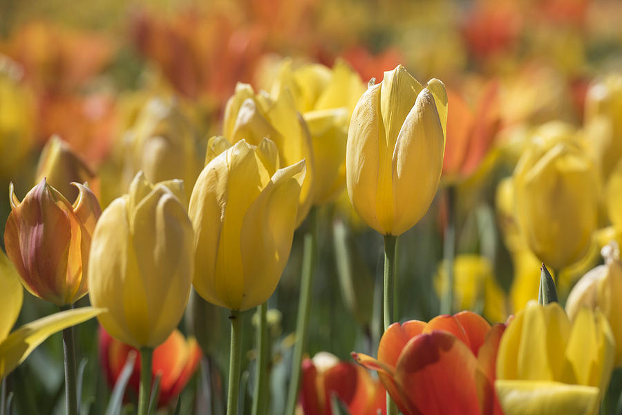 Coming up Tulips by Jeanne May