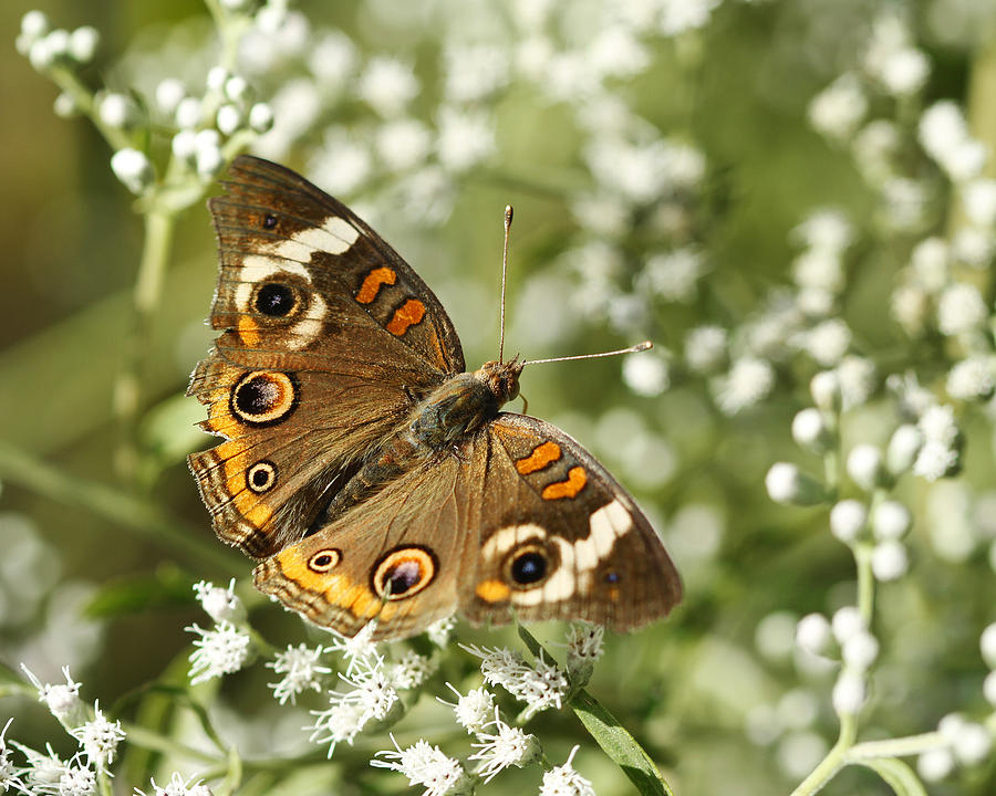 Common Buckeye Photograph - Common Buckeye Butterfly On White Thoroughwort Wildflowers by Kathy Clark