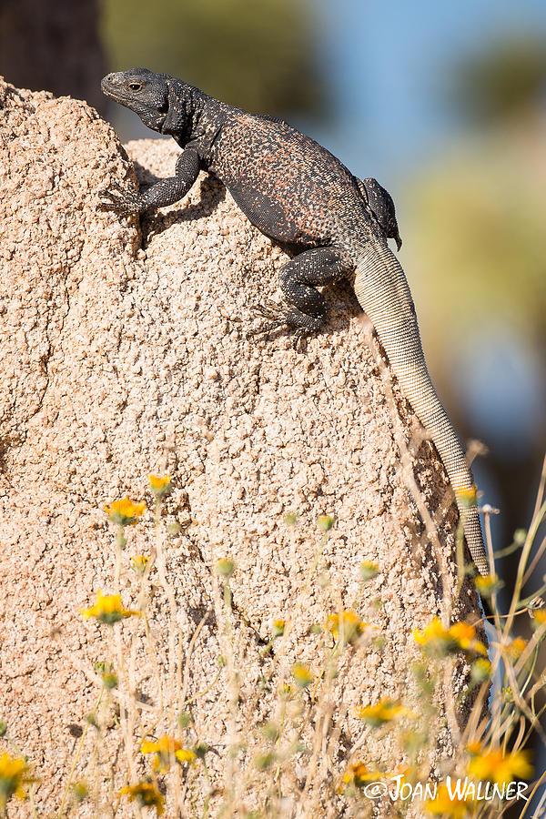 California Photograph - Common Chuckwalla by Joan Wallner