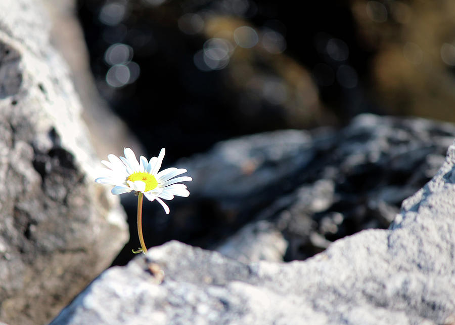 Common Daisy Photograph - Common Daisy On The Les Cheneaux Shore by Codee Pyke