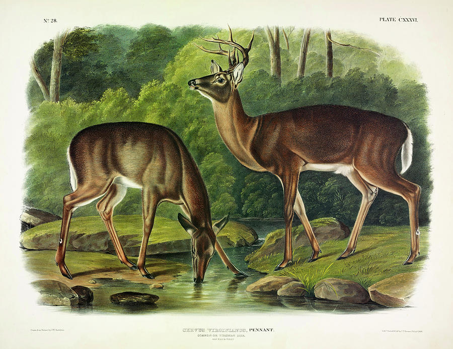 American Deer Painting - Common Deer by John James Audubon