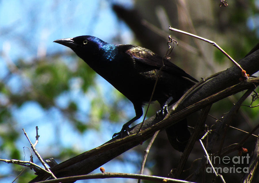 Bird Photograph - Common Grackle by Deborah Johnson