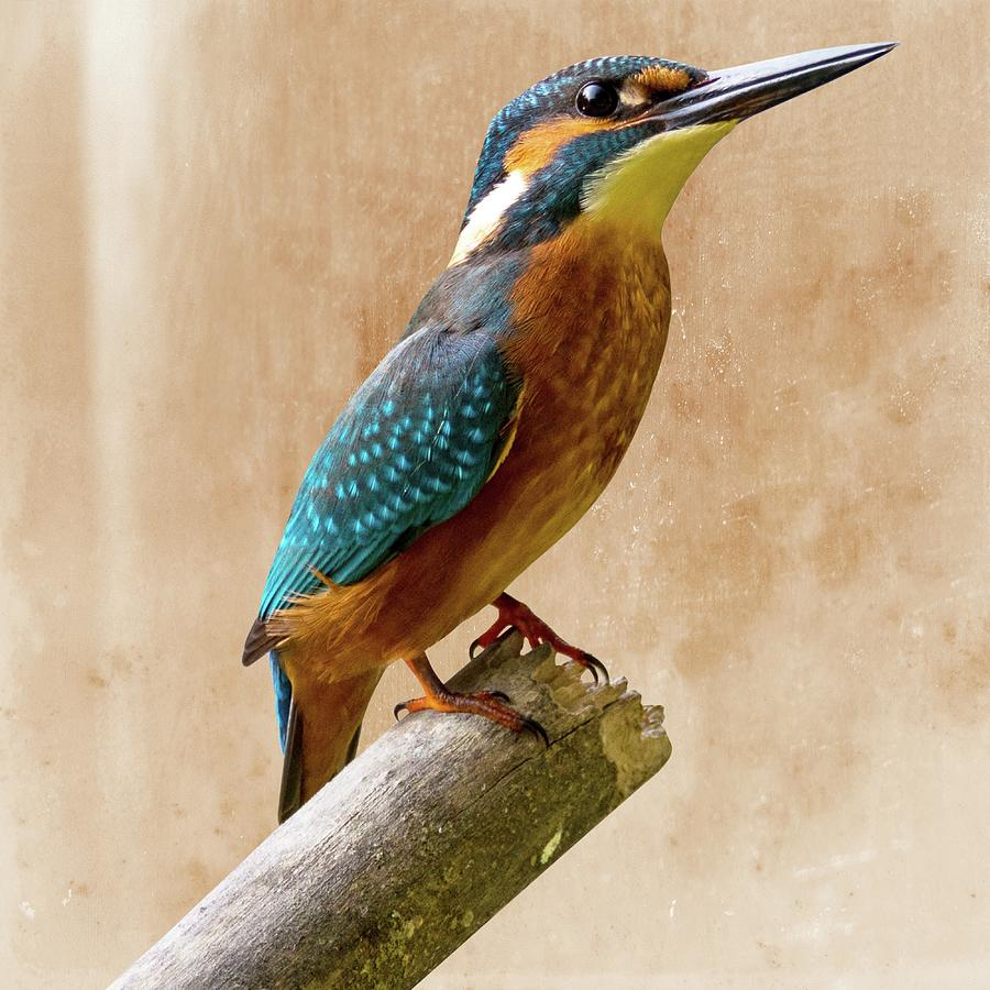 Common Kingfisher Alcedo Atthis Photograph by David Dehner