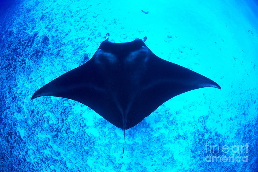 Above Photograph - Common Manta Ray by Dave Fleetham - Printscapes