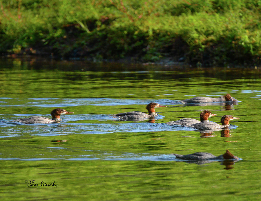 Common Mergansers on the Delaware by Chris Busch