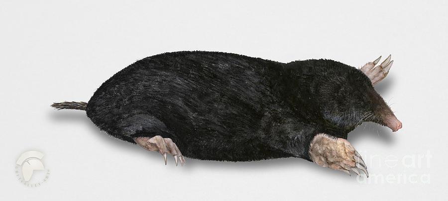 Common Mole Talpa Europaea Painting