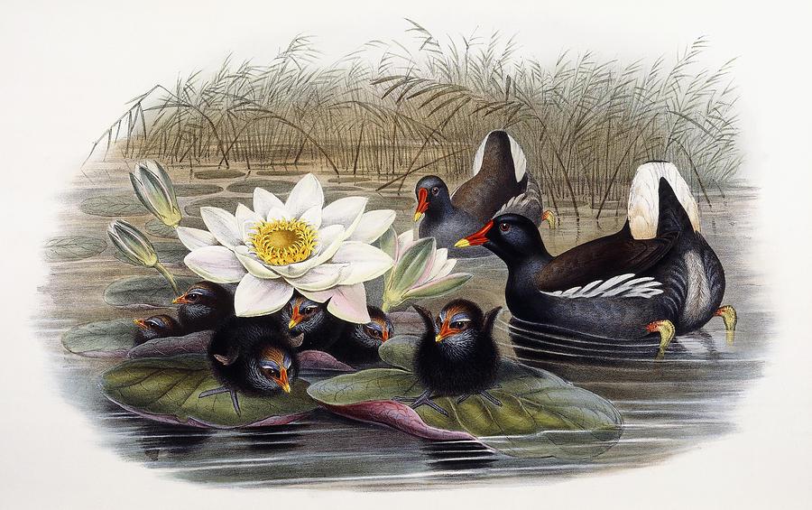 Lotus Painting - Common Moorhen by John Gould