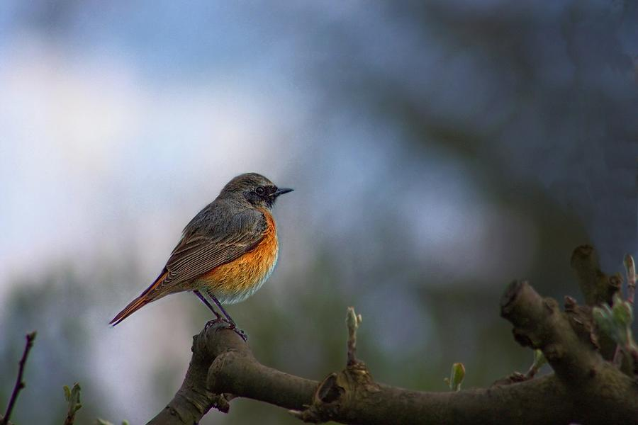 Common Redstart by Movie Poster Prints