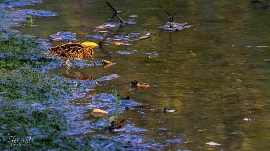 Common snipe, gallinago gallinago, Geneva, Switzerland by Elenarts - Elena Duvernay photo