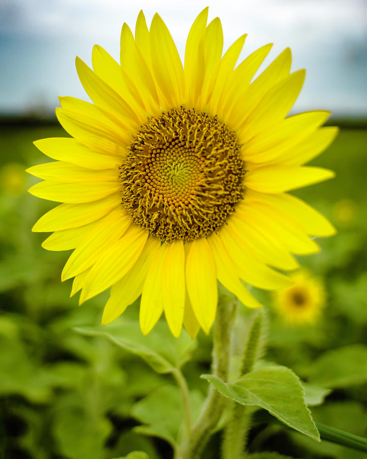 Common Sunflower by Printed Pixels